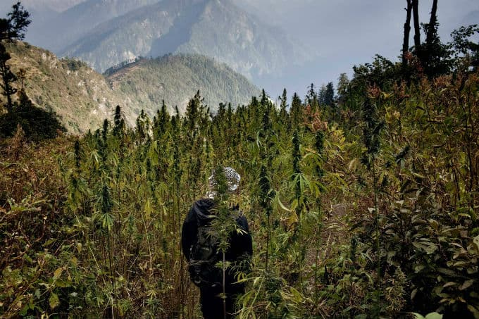 what is cannabis himalaya marijuana