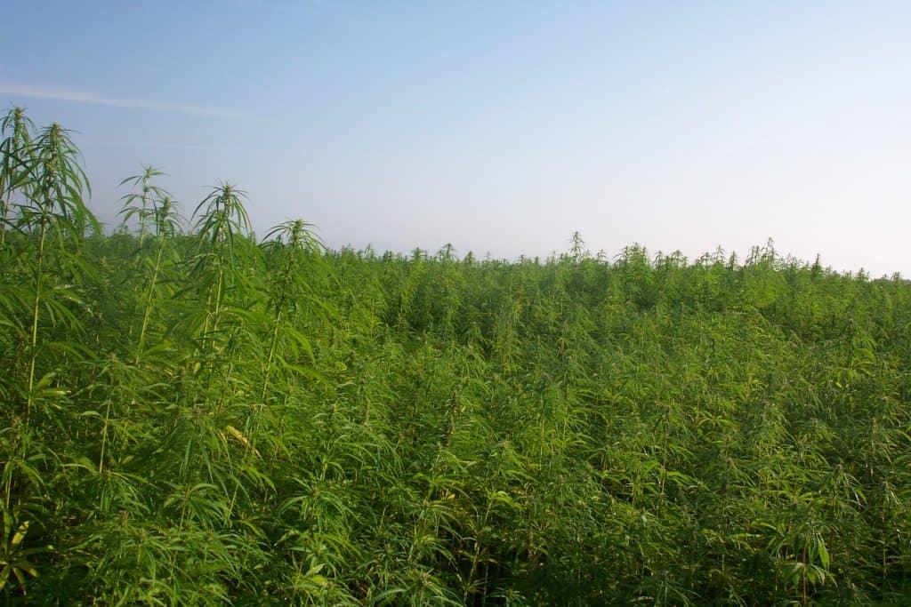 cannabis oil legal